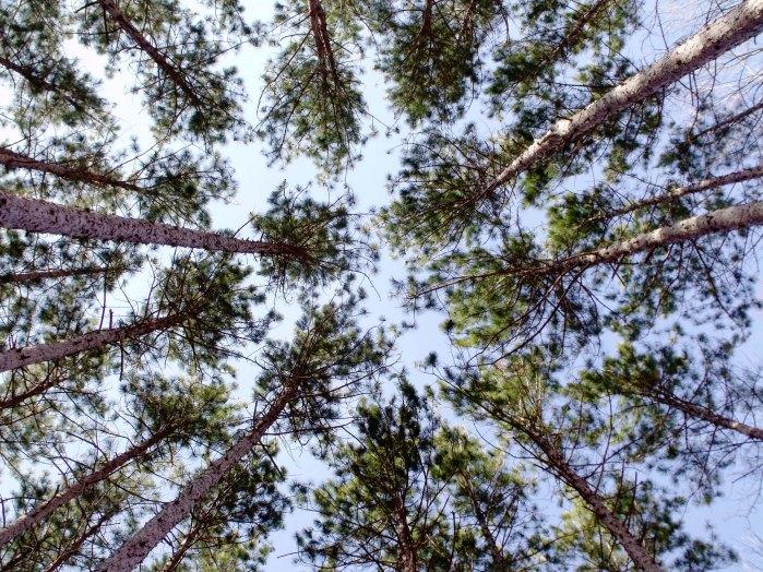 3 29 10 wispy pine copy