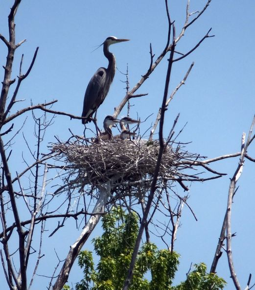1st Heron Photo BH8