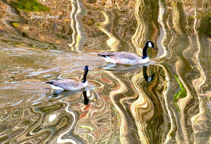 Leilani Carroll geese photo