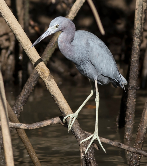Little Blue Heron3 1st BH photo