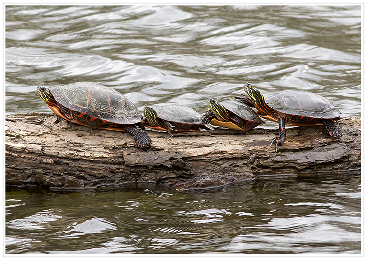 Turtles Pair w Elisabeth Harrahy