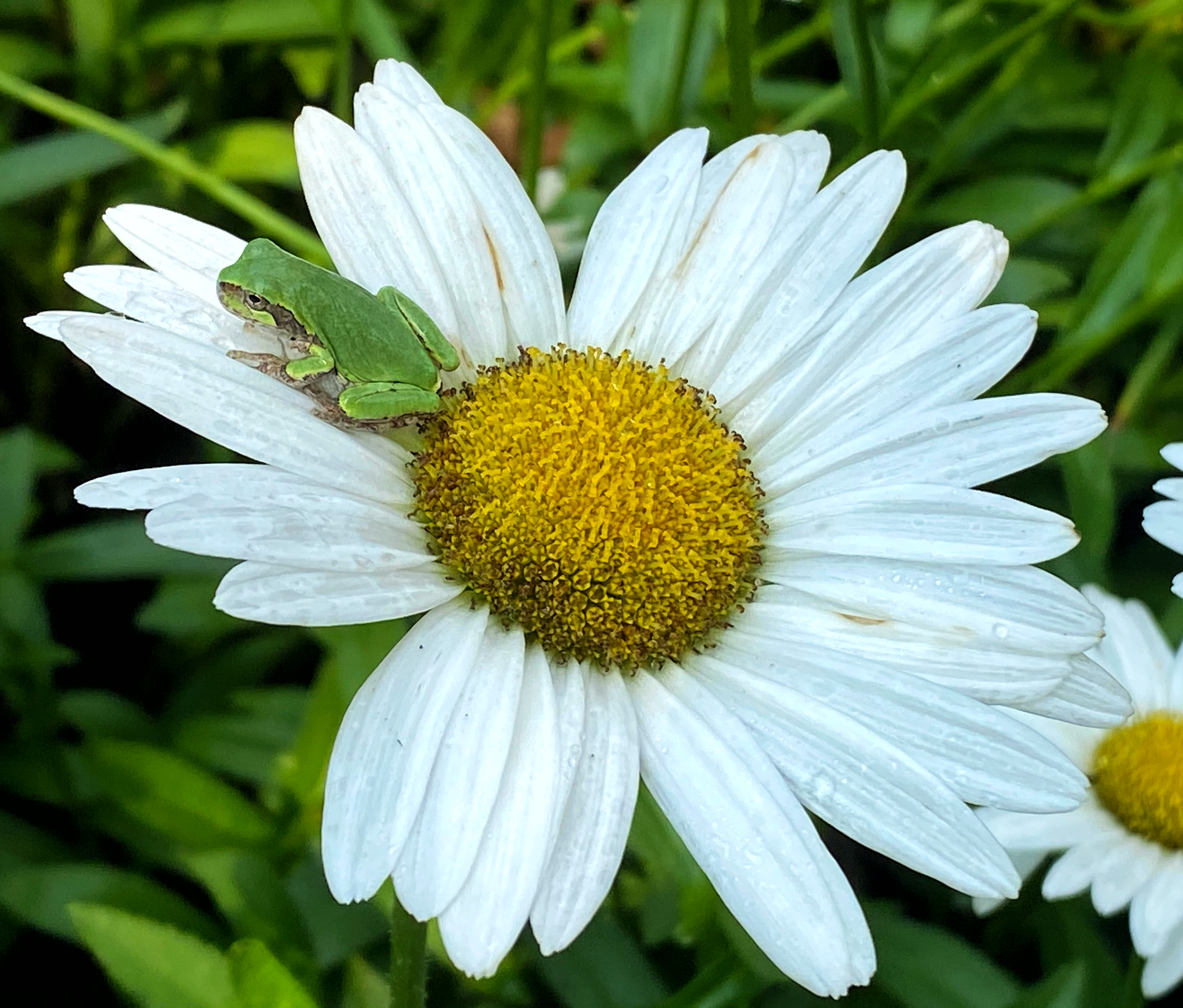 frog on daisy png file Holly Kallie